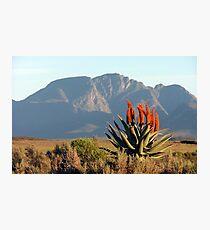 Aloe Ferox Photographic Print