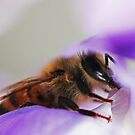 Biene auf einer Glyzinie-Blume von Evita