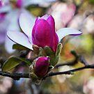 Magnolias In Bloom by Evita