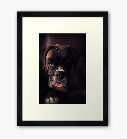 Porträt eines weiblichen Boxers - Boxer Dogs Series Gerahmter Kunstdruck