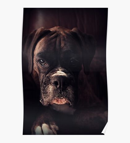 Porträt eines weiblichen Boxers - Boxer Dogs Series Poster