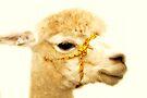 Porträt eines Alpakas von Evita