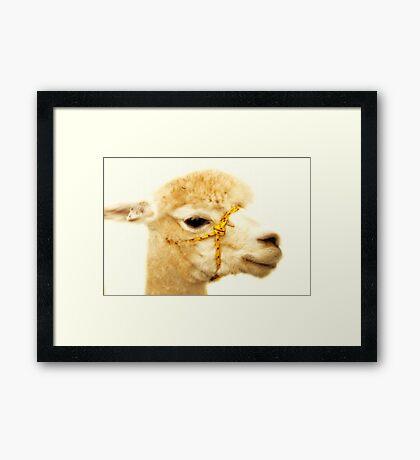 Porträt eines Alpakas Gerahmter Kunstdruck