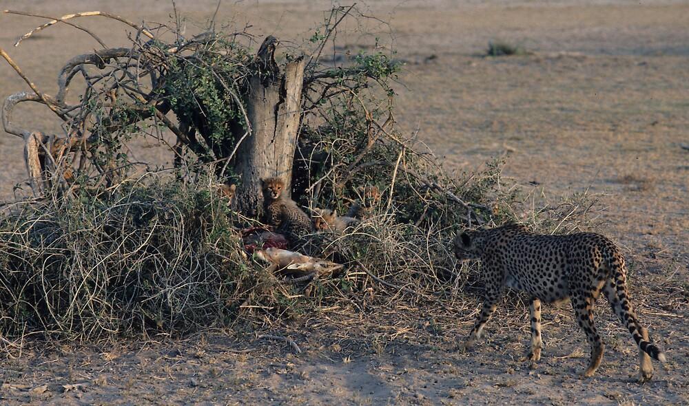 Cheetah Mama approaching lair. by bertspix