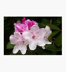 White Rhododendron  Photographic Print