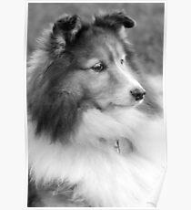 The Wisdom Of A Shetland Sheepdog Poster