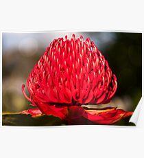 Red Waratah in Blue Mountains garden in Australia Poster