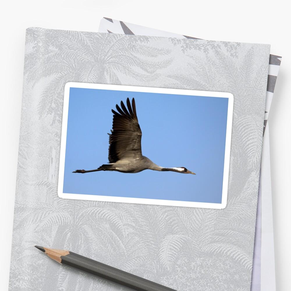 Common crane (Grus grus) also known as the Eurasian Crane by PhotoStock-Isra