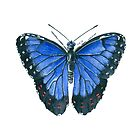 Blue Morpho butterfly watercolor painting by katerinamk