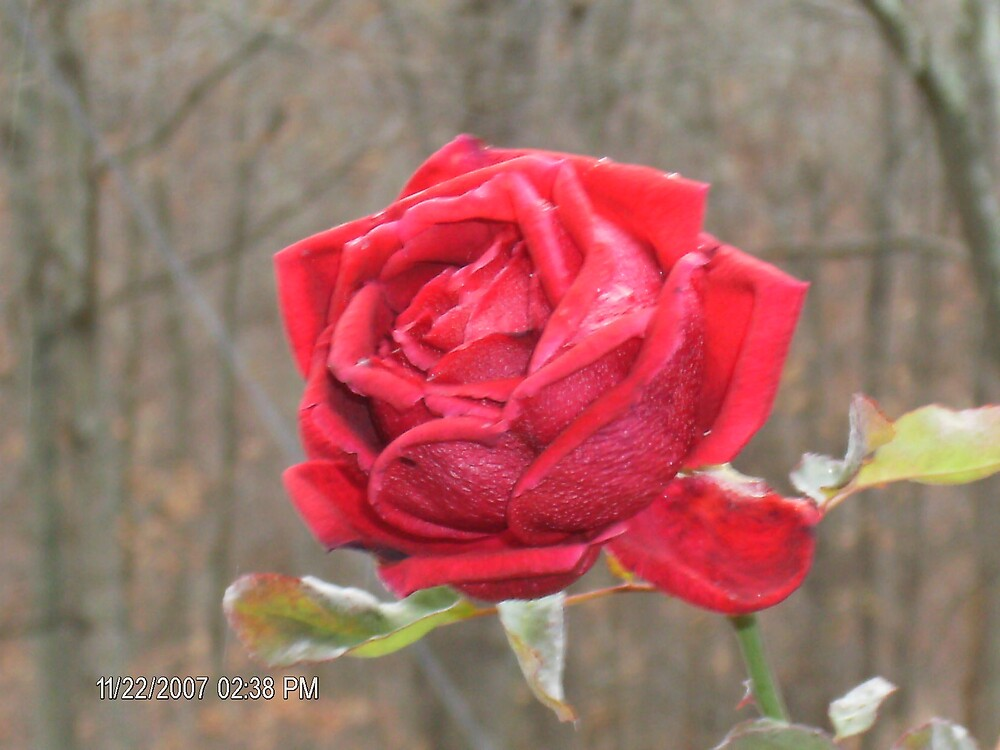 Thanksgiving Roses by Sherry44