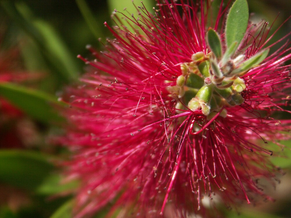Bottlebrush Flower by lemontree