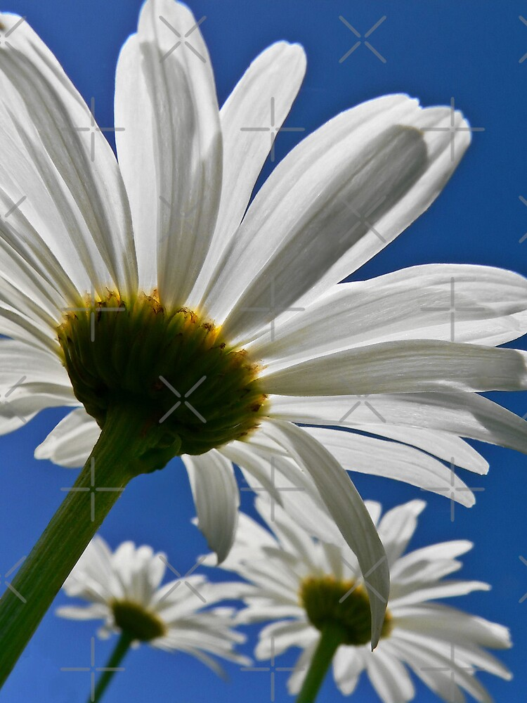 Daisys 3 by BecsPerspective