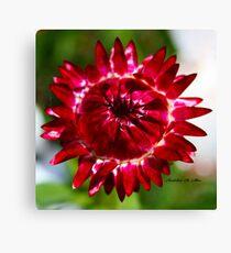 Floating Strawflower Canvas Print