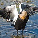 Duck Wings by palmerphoto