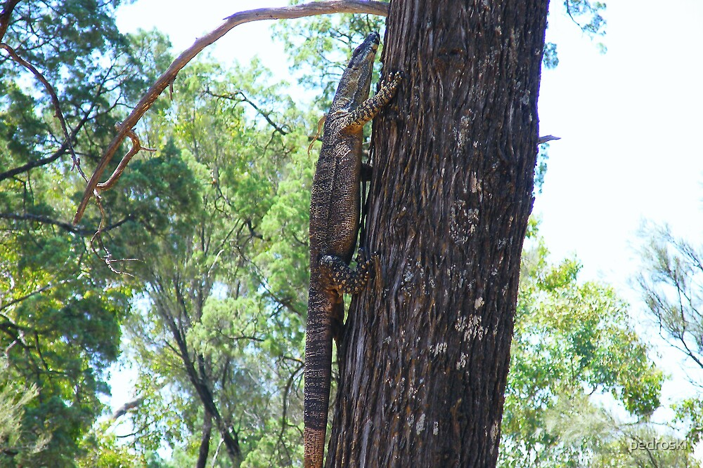 Lace Monitor heading up a tree by pedroski