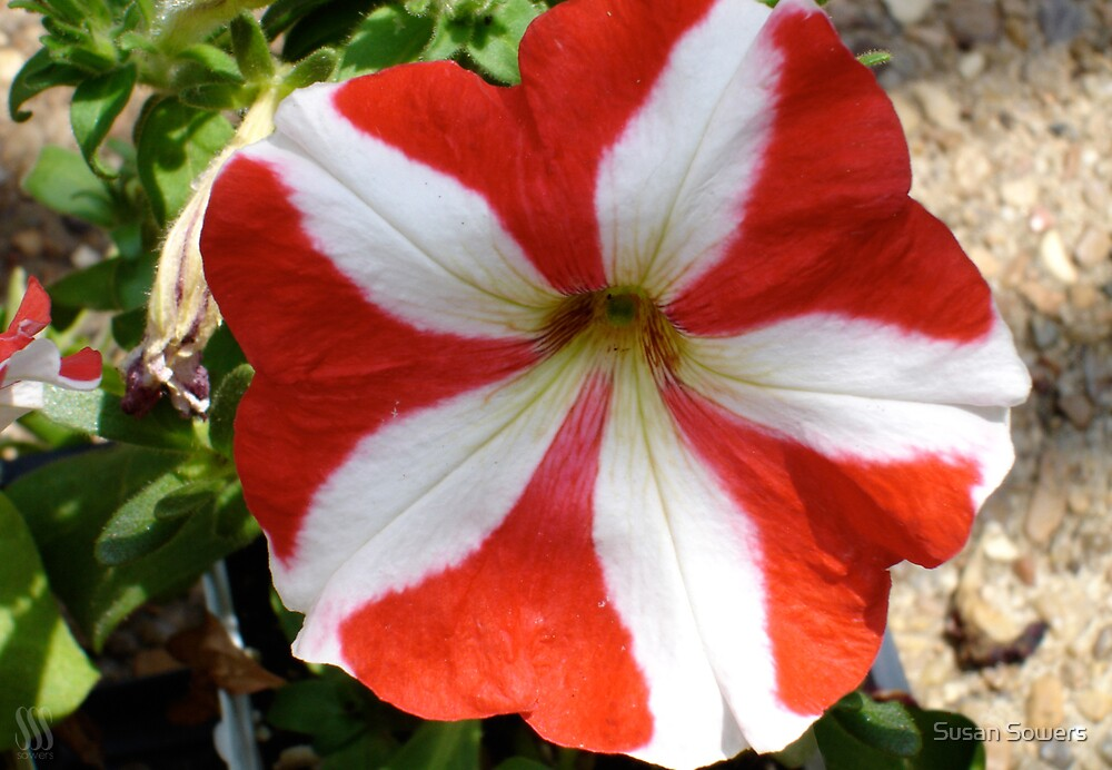 Red and White Petunia by Susan Sowers