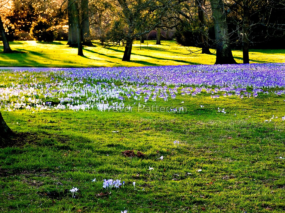 The Crocus Carpet at Kew by Trevor Patterson