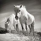 Horses of Luskentyre  by marshall calvert  IPA