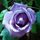 My Beautiful Rose by BlueMidnight