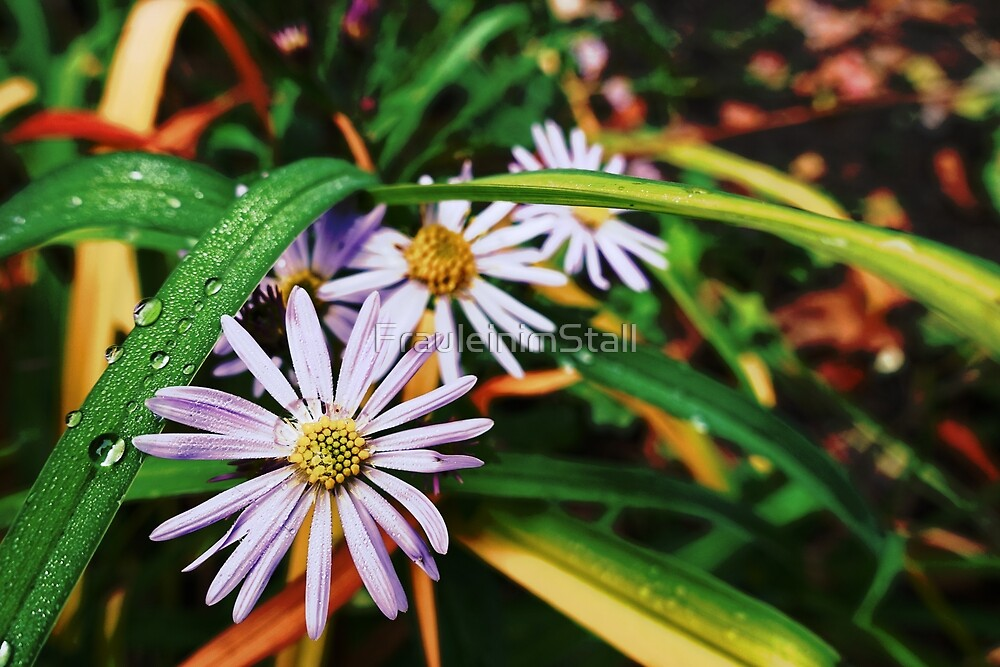 Raindrops and flower by FrauleinimStall