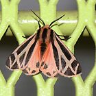 Harnassed tiger moth by Alice Kahn