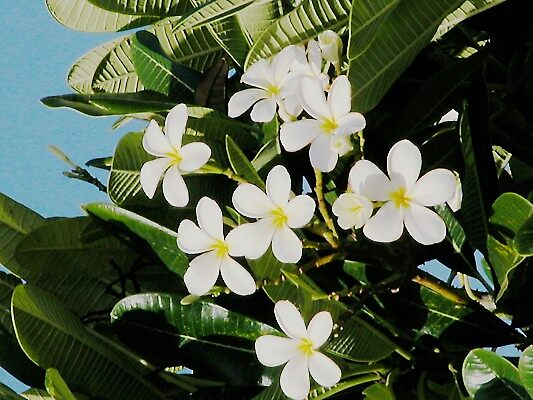 Frangipani Blossom by orchidcat