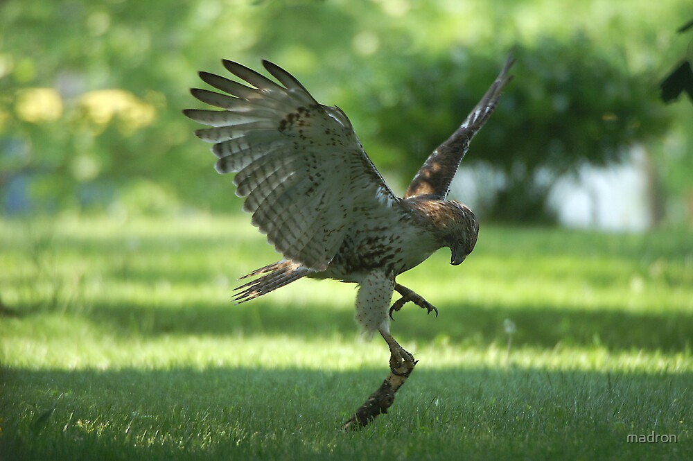 Hawk with Prey  by madron