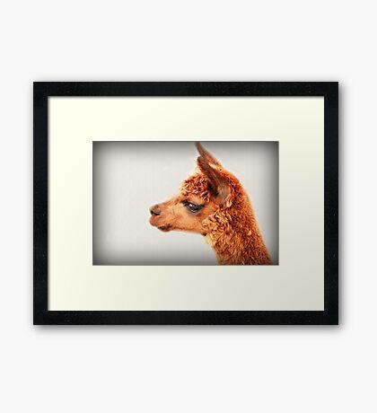 Ein Alpaka-Porträt Gerahmter Kunstdruck