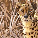 Cheetah by Lisa G. Putman