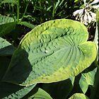Raindrop on Hosta Leaf by BlueMoonRose