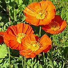 Orange Poppies by Graeme  Hyde
