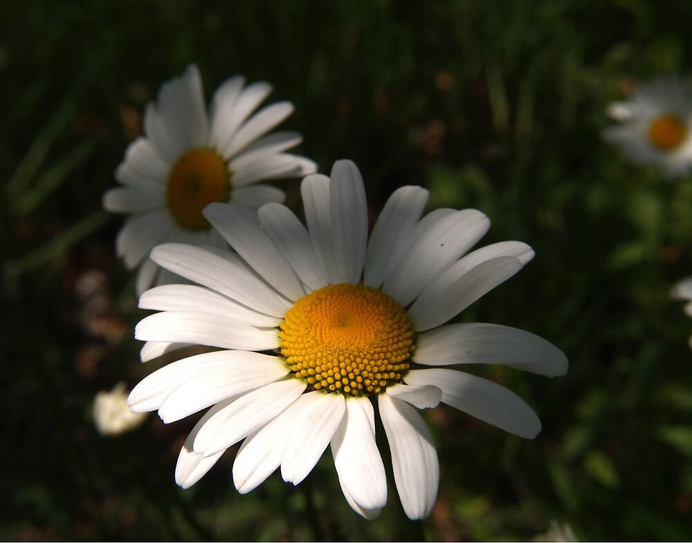 Daisys by Jon  Johnson