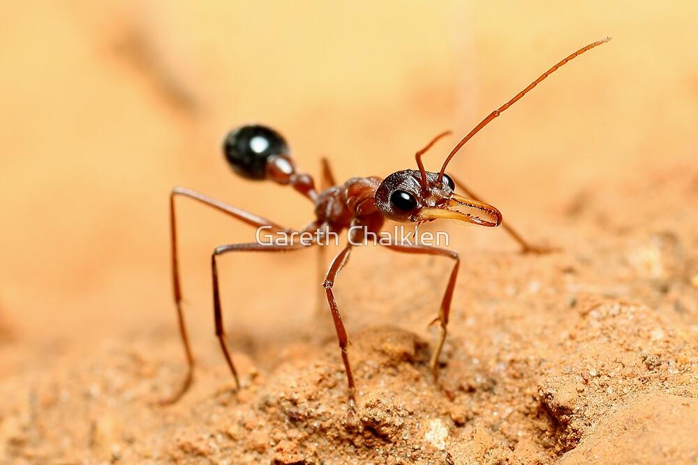 Bulldog Ant by Gareth Chalklen