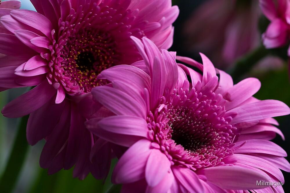 Twin Pink Gerbas by MiImages