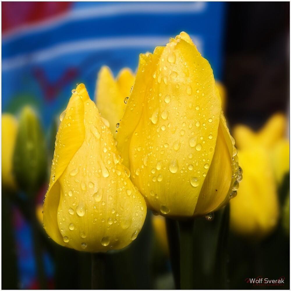 Tulips (7) by Wolf Sverak
