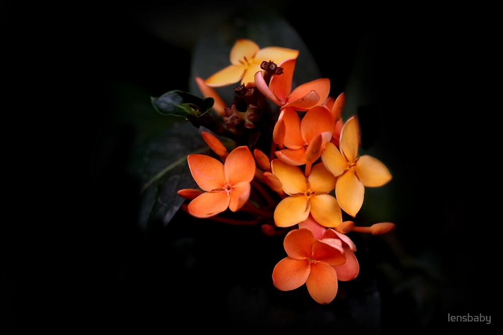 Ixora in black by lensbaby