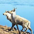 Reindeer - Winter Caribou  by SuzanRS