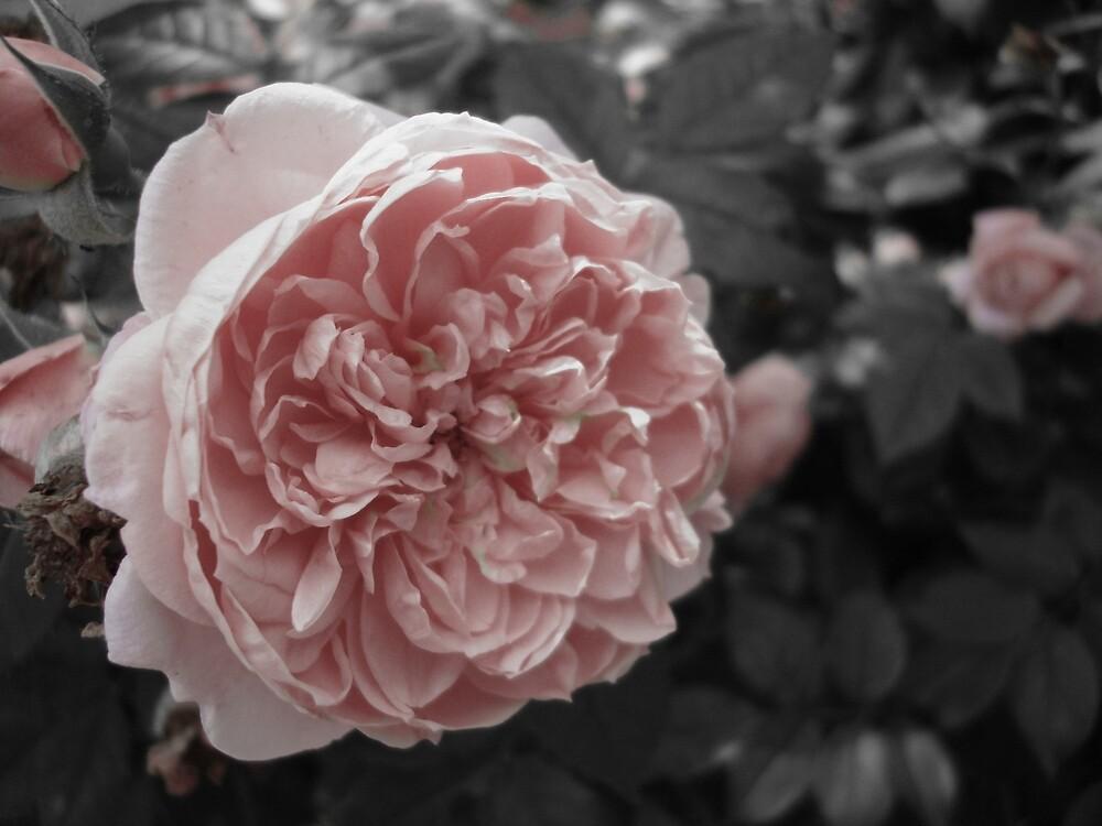 Antique Rose by emilycolors