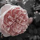 Antique Rose by emilycolors