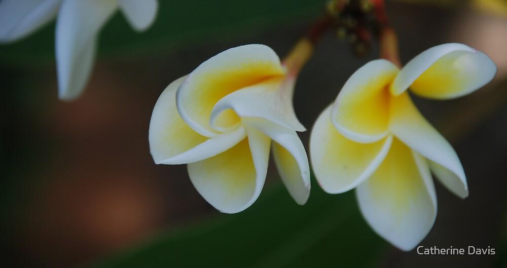 Frangipani by Catherine Davis