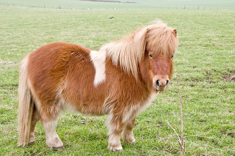 Shetland Pony by Chris Clark
