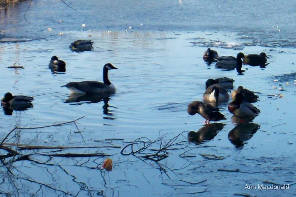 Ducks  by Ann Macdonald
