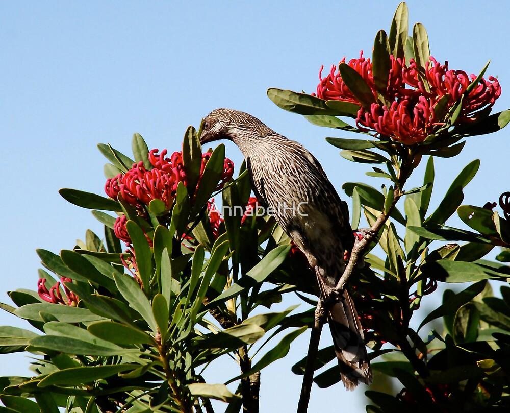 Wattle Bird on Waratah by AnnabelHC