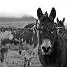 Donkeys by Scott Moore