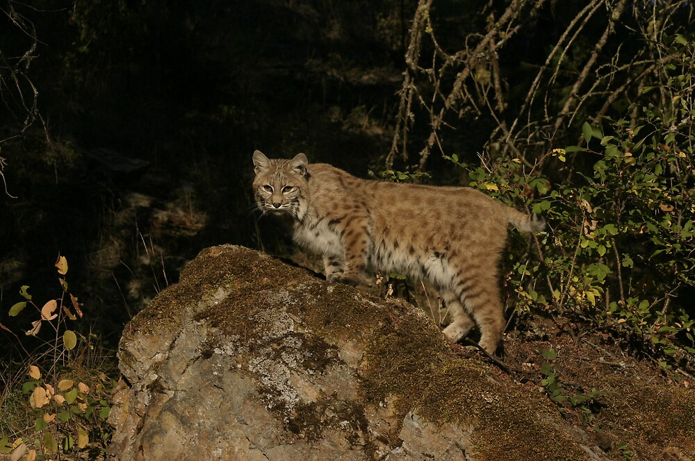 Bobcat by Jessica Lynn