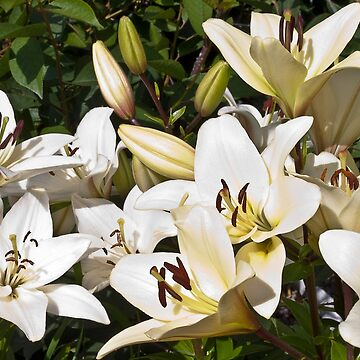 White Lilies In The Garden by SandraFoster