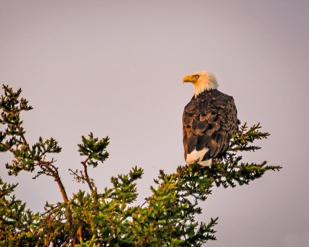 Eagle by Fisto64