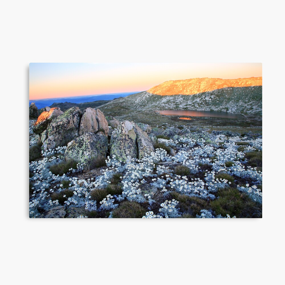 Mt Kosciusko Silver Snow Daises Canvas Print