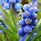 Blue Flowering Bulbs