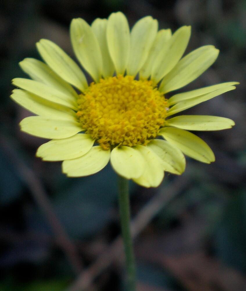 daisy by Amanda le Bas de Plumetot